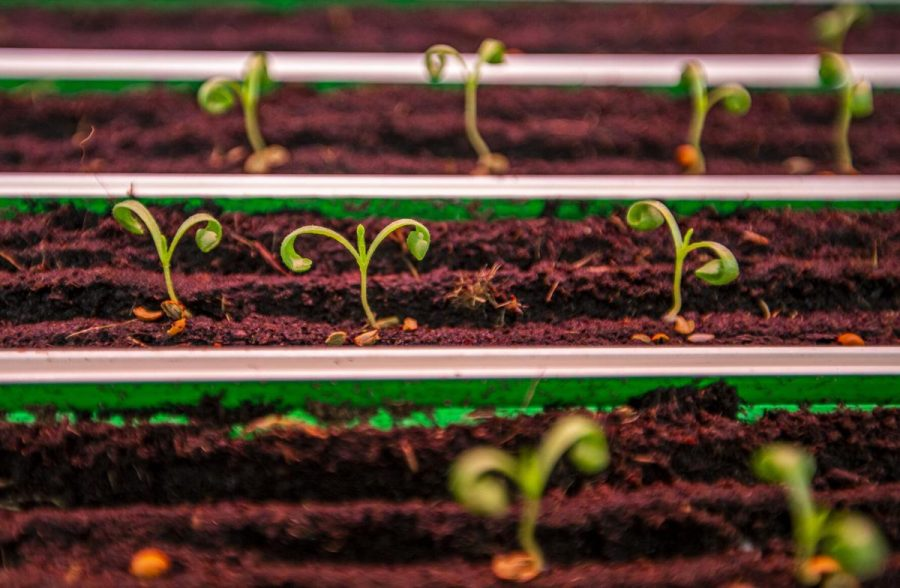 New sprouts from the seeds planted in the greenhouse grow. On average they will be harvested 25 days after they were planted.