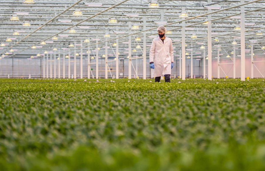 Image inside the new greenhouse constructed next to the ethanol plant. A worker is inspecting the growth of the lettuce plants.