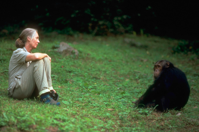 Jane Goodall contributed to a lifelong study of chimpanzees